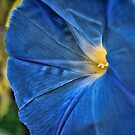 Heavanly Blue Morning Glory  by Sandra Lee Woods