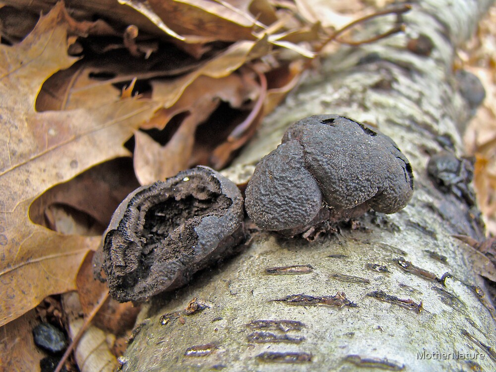 Carbon Balls Fungi - Daldinia concentrica by MotherNature