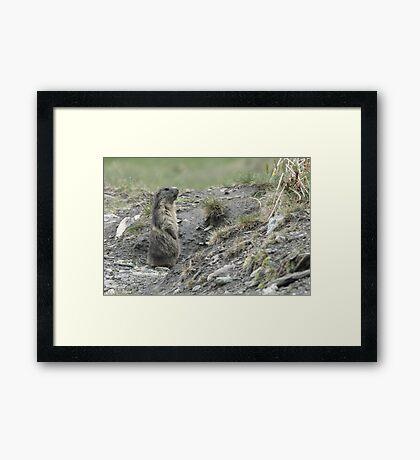 Marmot on guard Framed Print