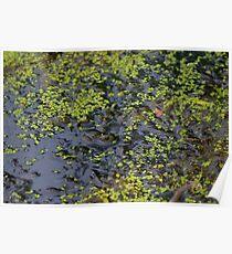 Swamp Frog Poster