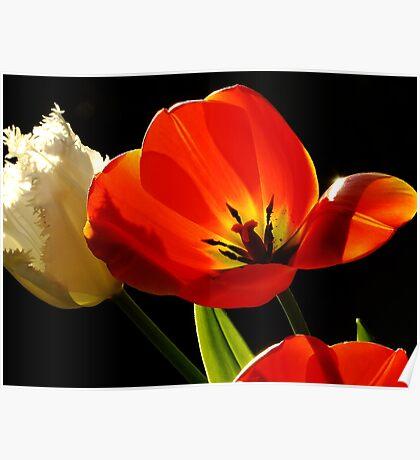 Tulip Delight Poster