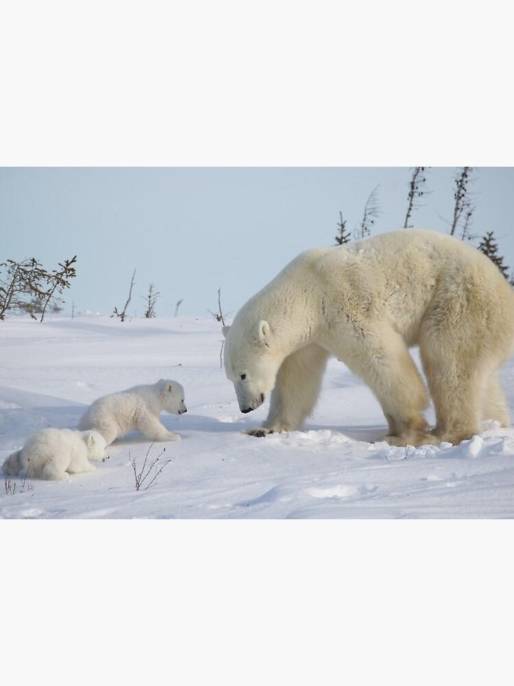 «Mère ours polaire veille sur ses deux petits nouveau-nés» par mjoncheres
