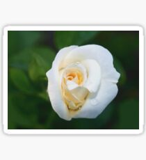 A rose like a white lily Sticker