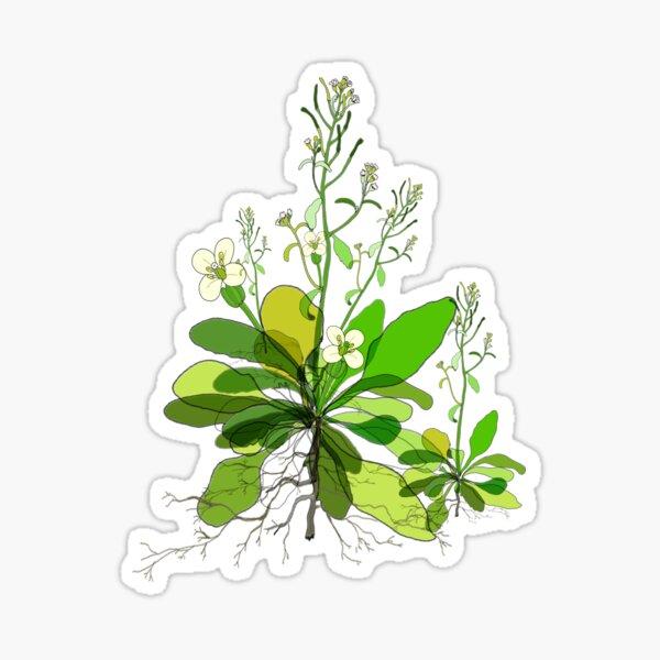 Arabidopsis Sticker