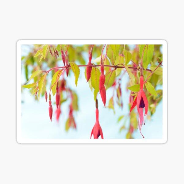 Fuchsia magellanica var. gracilis  'Aurea'  Sticker