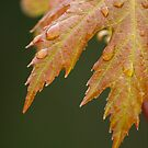New Maple Leaves in Spring by Dawne Olson