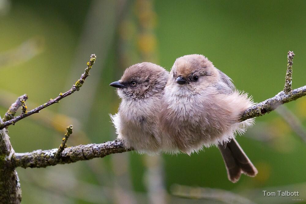 Bushtit Siblings by Tom Talbott