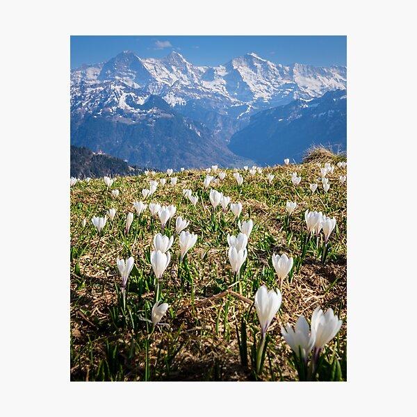 Crocuses in an alpine meadow Photographic Print