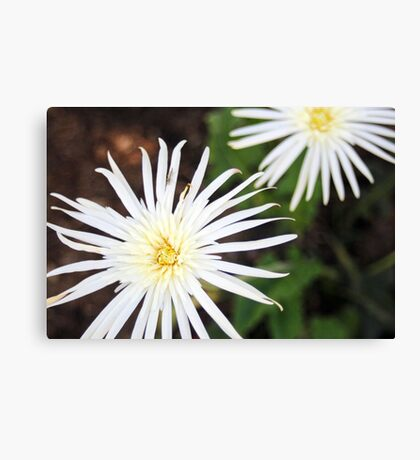 A Pair of White Gerbera's Canvas Print