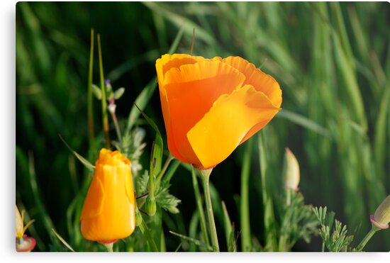 Californias state flower the california poppy metal prints by californias state flower the california poppy by kgately14 mightylinksfo