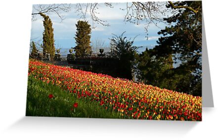 Tulip Field Tulips Tulpenbluete Flowers by HQPhotos
