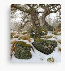 Snow gums grass and  granite . Canvas Print