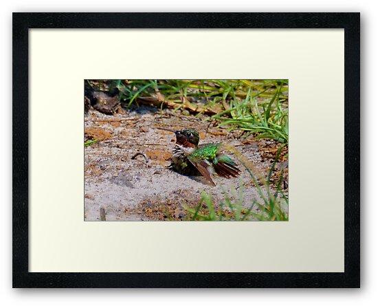 Hummingbird Taking A Dirt Bath by Kathy Baccari