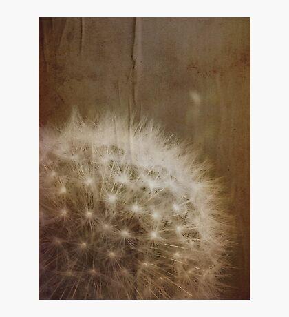 vintage dandelion Photographic Print