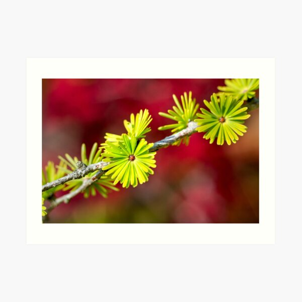 Lime green Larch leaves Art Print