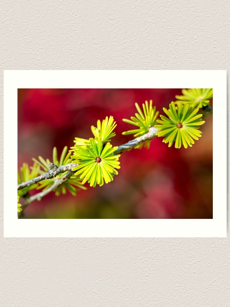 Alternate view of Lime green Larch leaves Art Print