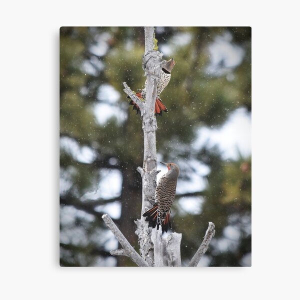 Pair of Northern Flickers Perched in a Tree Canvas Print