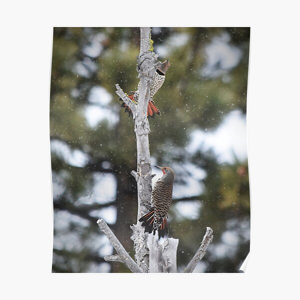 Pair of Northern Flickers Perched in a Tree Poster