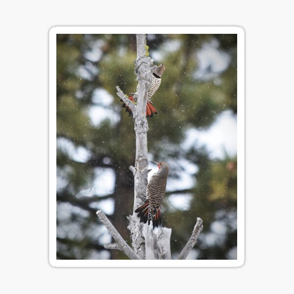 Pair of Northern Flickers Perched in a Tree Sticker
