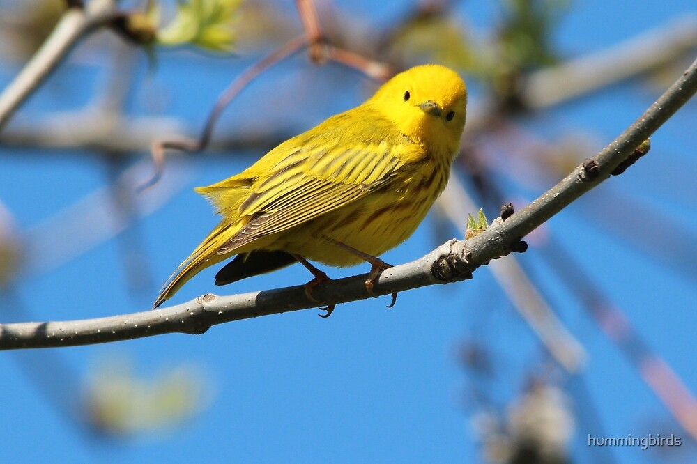You Looking at Me? /Yellow Warbler by hummingbirds