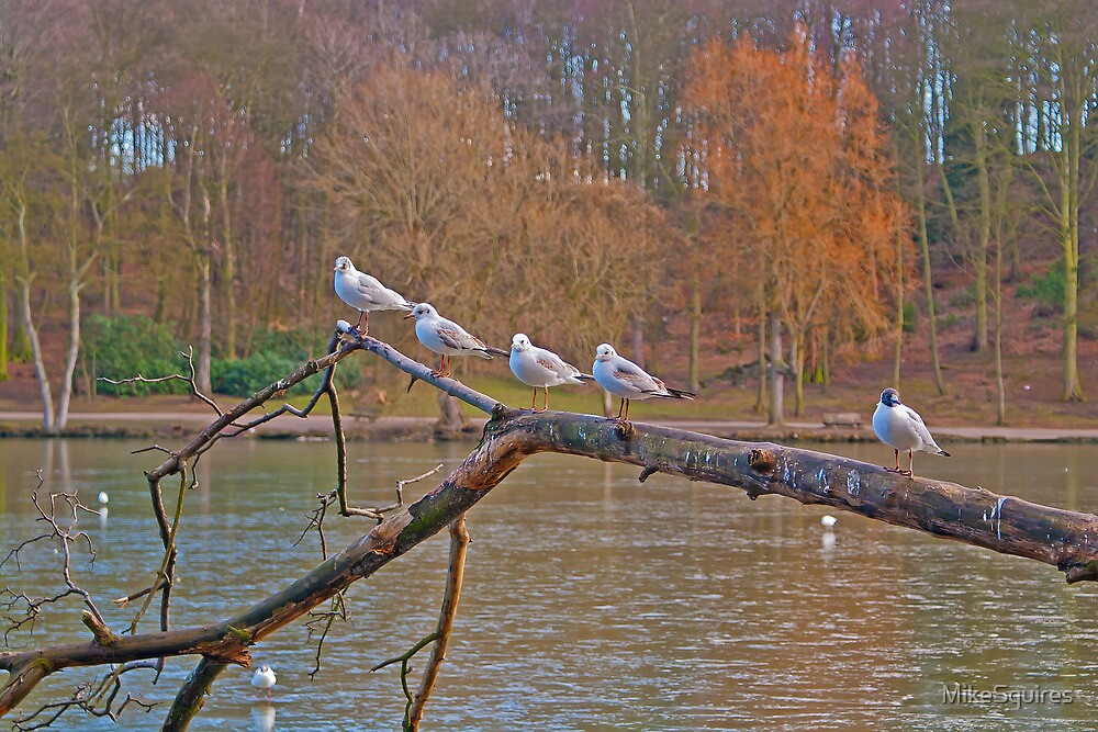 Black-headed Gulls by MikeSquires