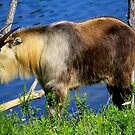 Sichuan Takin by Brent McMurry