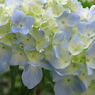 Spring Hydrangea by Betty Mackey