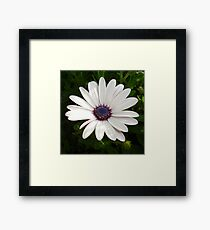 Beautiful Osteospermum White Daisy With Purple Center  Framed Print