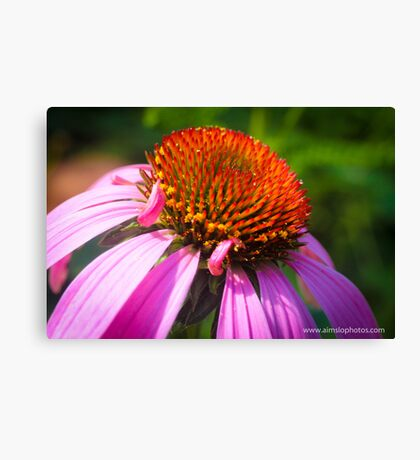 Echinacea Flower Canvas Print