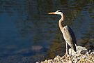 Great Blue Heron at Water's Edge by Kenneth Keifer