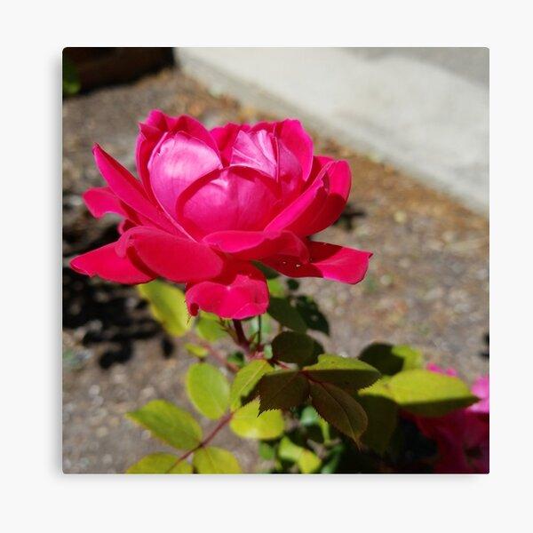 Garden Rose Red Canvas Print