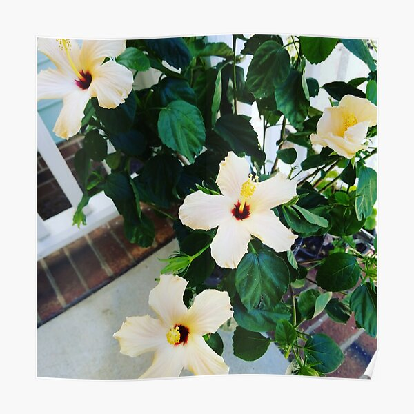 Morning Garden Yellow Hibiscus  Poster