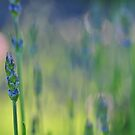 Evening Lavender by Heather Thorsen