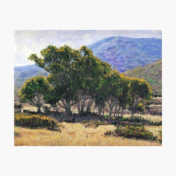 Eucalyptus Grove Catalina Photographic Print