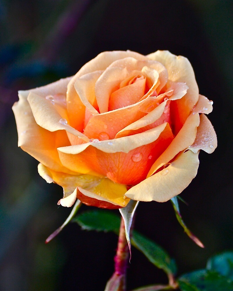 Autumn Rose by John Thurgood