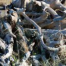 Drifted Roots by Deborah Singer