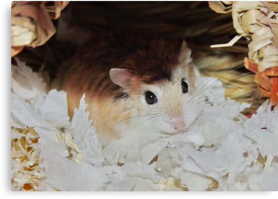 Roborovski Hamster called Cheese by AnnDixon