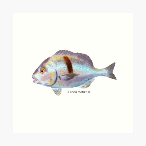 Xantic Sargo fish Art Print