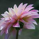 Backlit Pink by Monnie Ryan