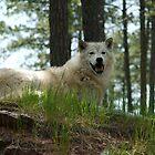 Arctic Wolf by Scott Hendricks