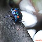 Harlequin Beetle by -aimslo-