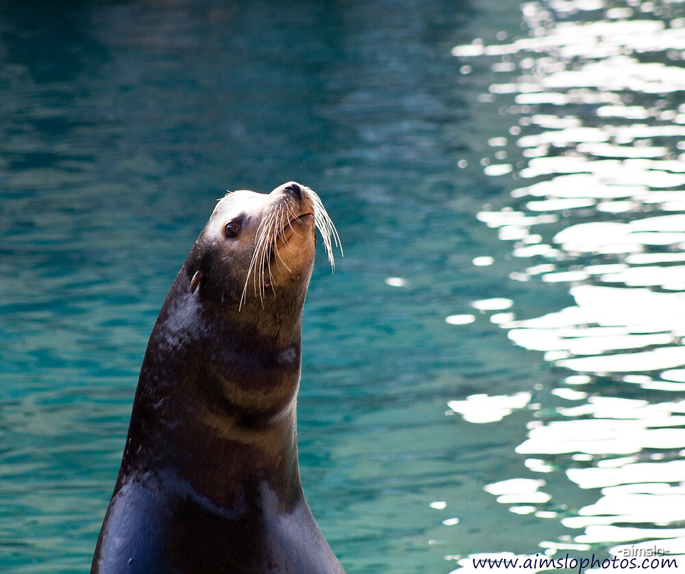 Sea Lion by -aimslo-