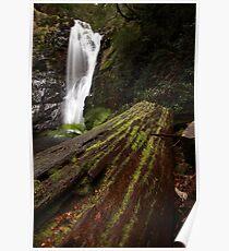 old tree, mathinna falls. northeast tasmania, australia Poster