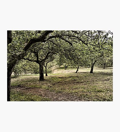 Old Orchard Photographic Print