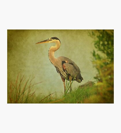 Great Blue Heron Along The Shore Photographic Print