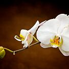 White Orchid by Gail Beerman