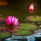 Water Lilies by Gail Beerman