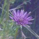 Purple Haze by Jess Meacham