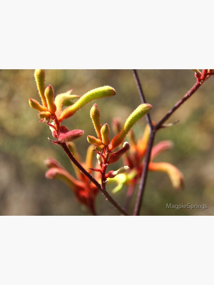 Kangaroo paw - Adelaide Hills Wine Region - Fleurieu Peninsula - by South Australian artist Avril Thomas by MagpieSprings