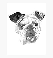 Portrait Of An American Bulldog In Black and White  Photographic Print